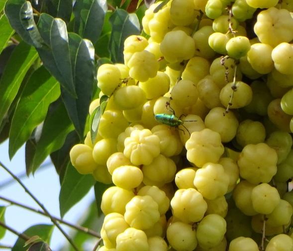 gberries